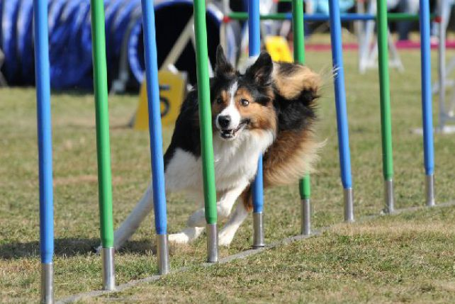 Jumping border collie on agility course stock photo thinkstock