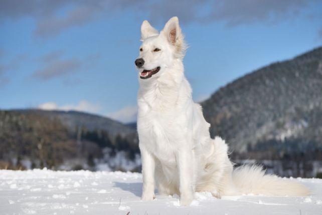 Ogromny Wilkory - psy przypominające wilki i ich fenomen - ZPAZUREM.PL AW18