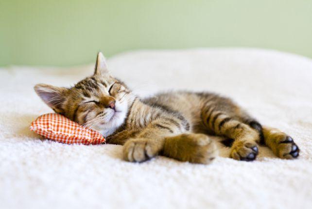 Dlaczego Koty Tak Dużo śpią Zpazurempl