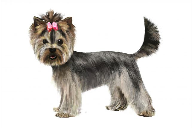 Yorkshire Terrier Zpazurempl