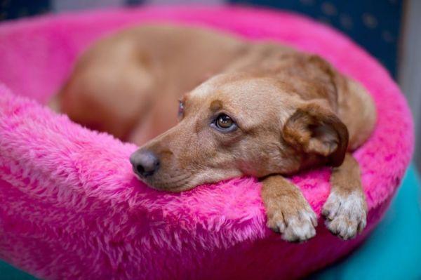 zwyrodnienie stawów u psa objawy trental cu artroza genunchiului