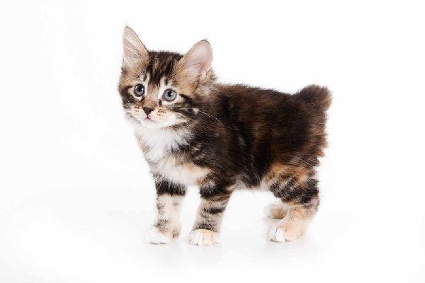 Kurylski Bobtail Wszystkie Cechy Kotów W Rasopedii Zpazurempl