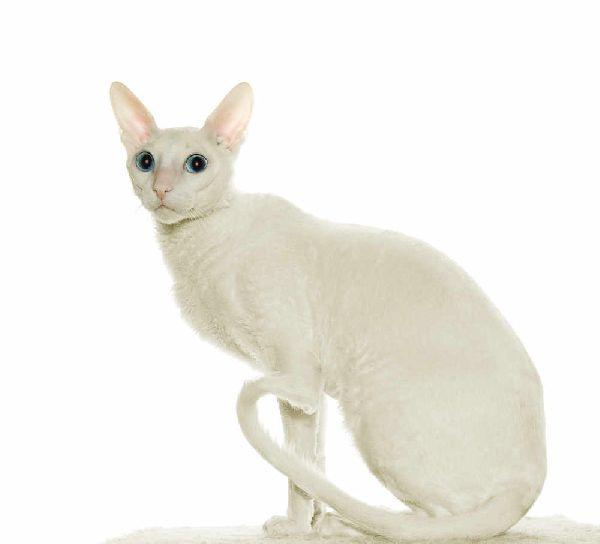 Cornish Rex Wszystkie Cechy Kotów W Rasopedii Zpazurempl