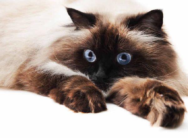 Himalajski Wszystkie Cechy Kotów W Rasopedii Zpazurempl