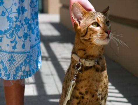Ashera Wszystkie Cechy Kotów W Rasopedii Zpazurempl
