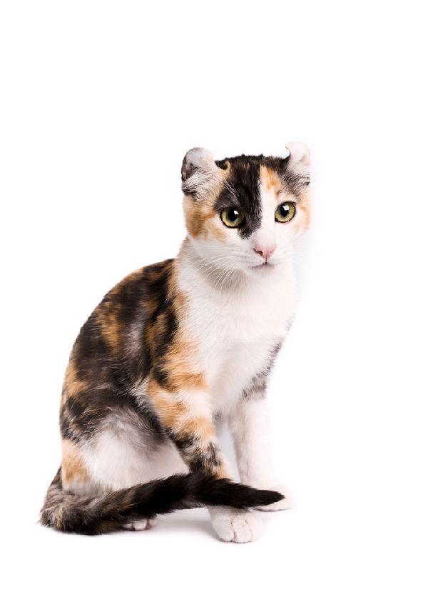 Amerykański Curl Krótkowłosy Wszystkie Cechy Kotów W Rasopedii