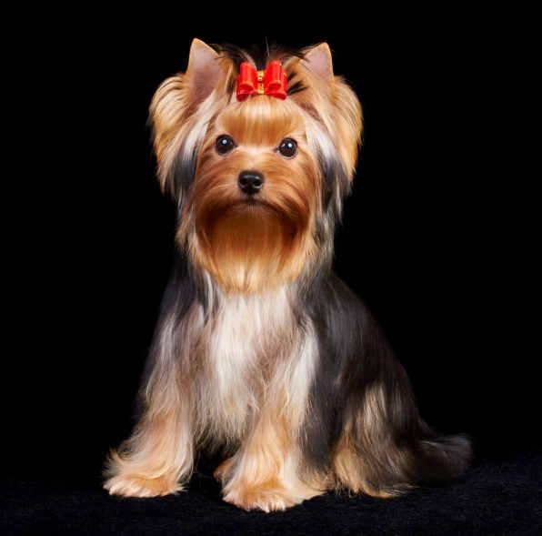 Yorkshire Terrier Wszystkie Cechy Psów W Rasopedii Zpazurempl